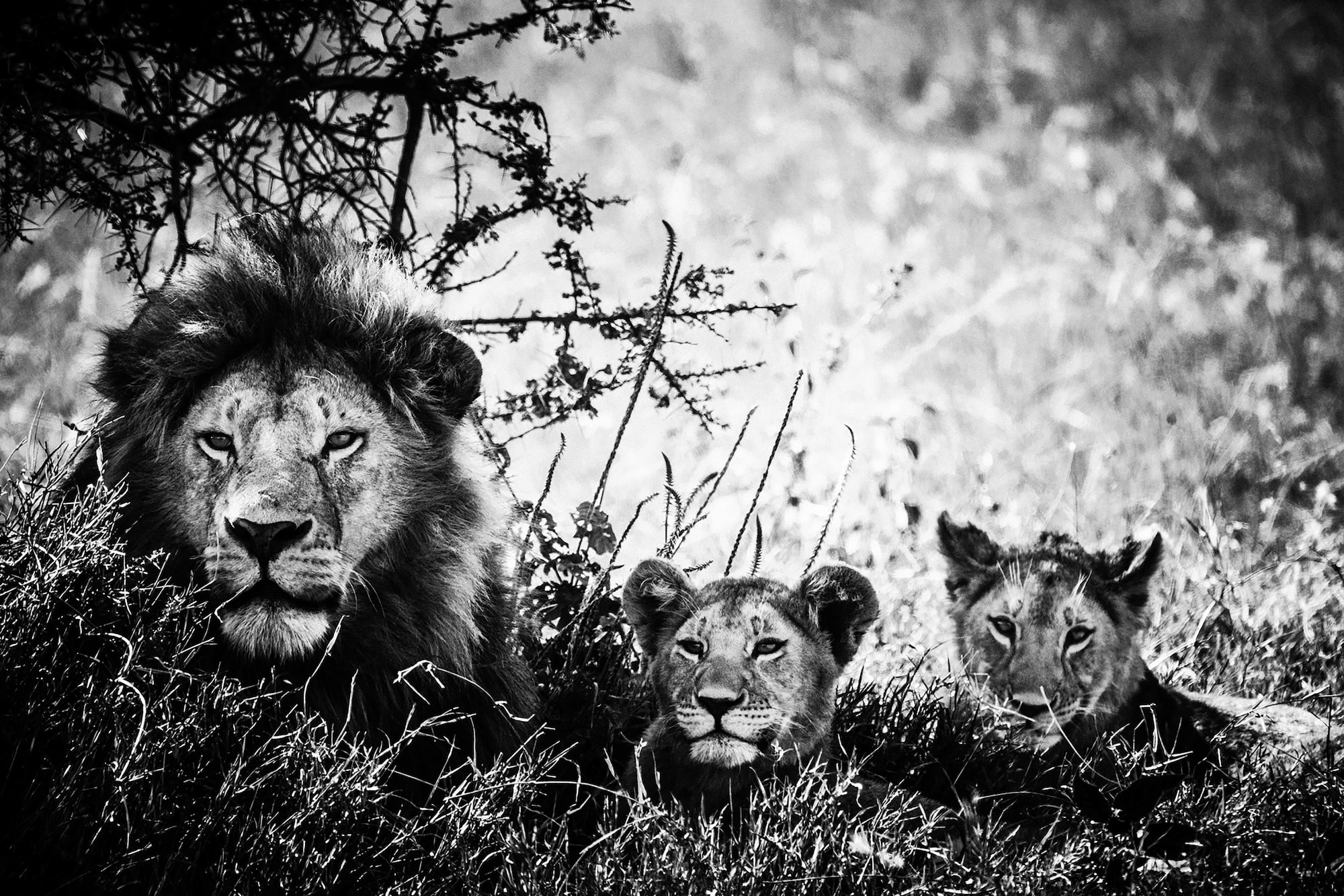 laurent baheux sony alpha 9 a lion sits with his cubs in the shade of a tree