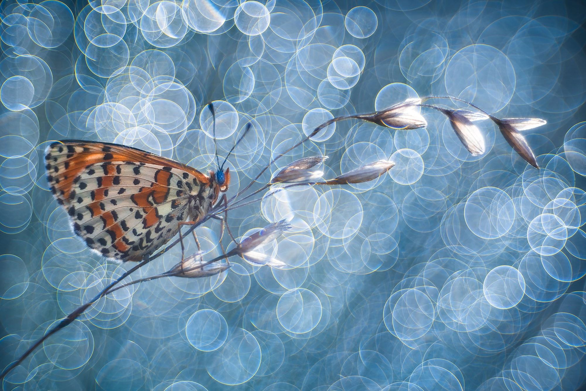 petar sabol sony alpha 99II butterfly perched on a flower stem with ring shaped lights behind