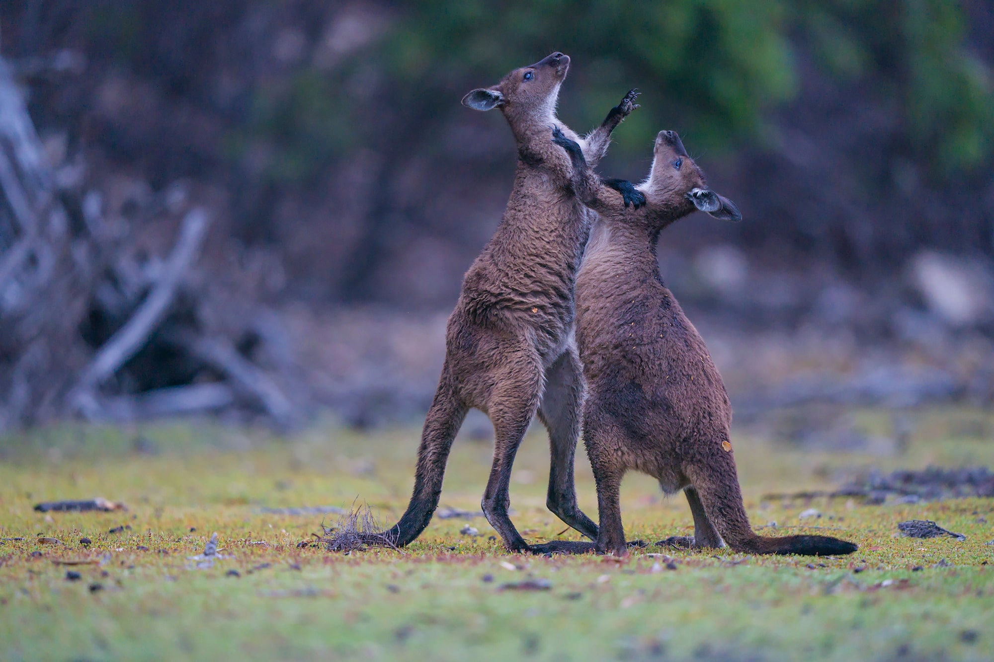 kaisa lappalainen sony alpha 9 two kangaroos wrestle each other for dominance