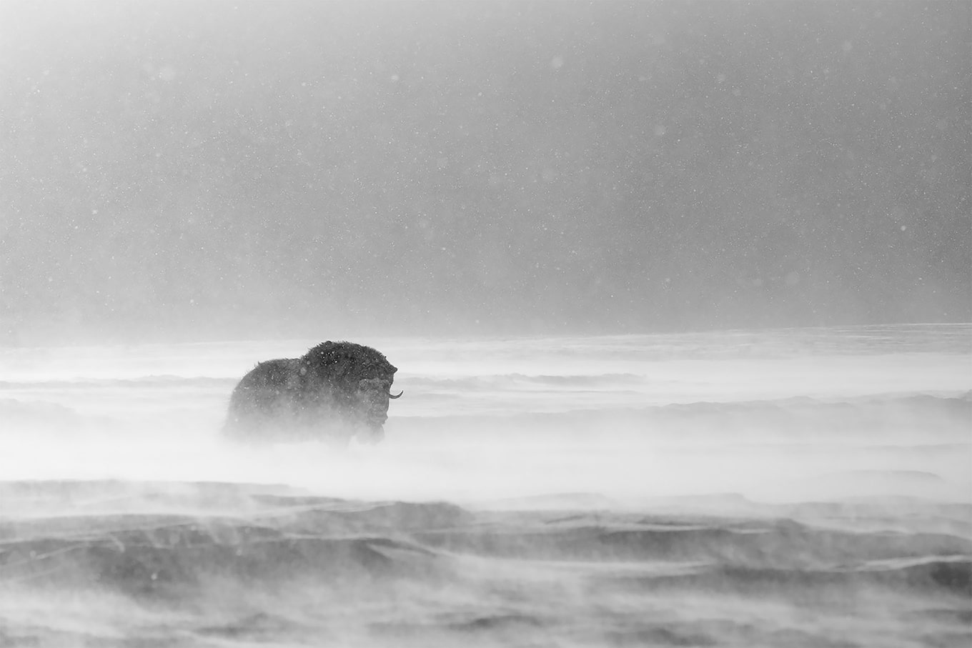 Floris Smeets sony alpha 9 black and white picture of a wild beast in the mist