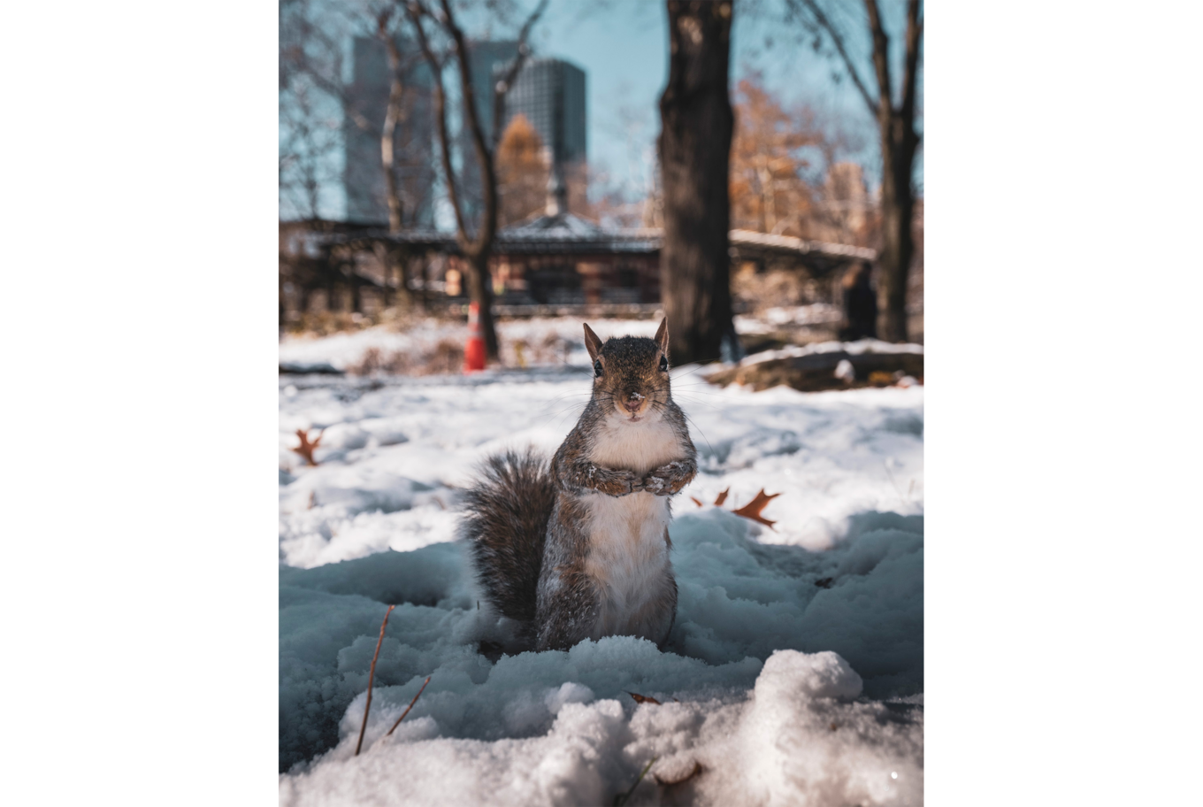 dennis schmelz sony alpha 7m3 portrait of a squirrel in a snowy park