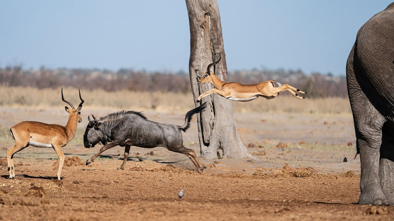 francis bompard sony alpha 9 antelope jumping on a wildebeest in the savannah