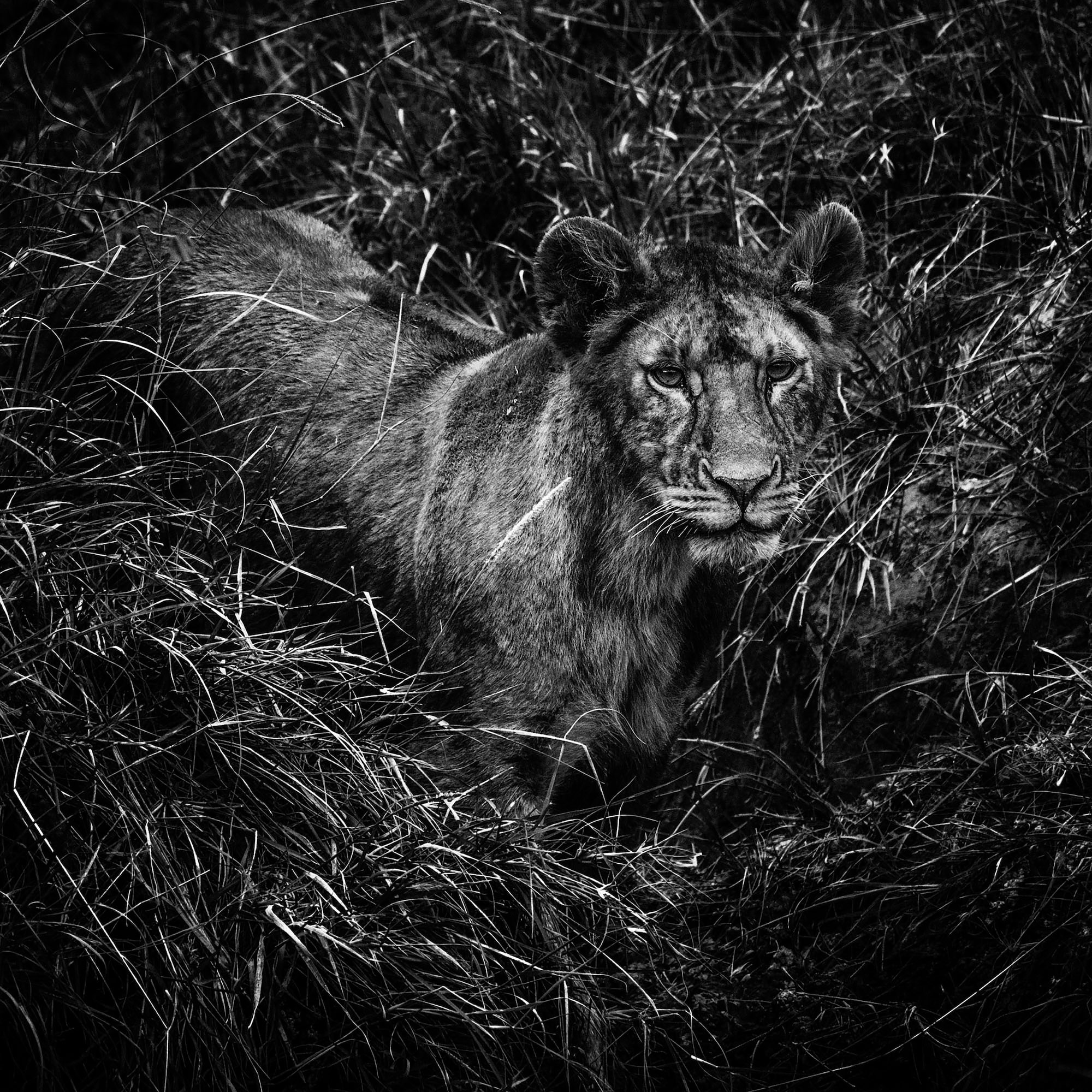 laurent baheux sony alpha 9 birds eye view of a lioness sitting quietly in the grass