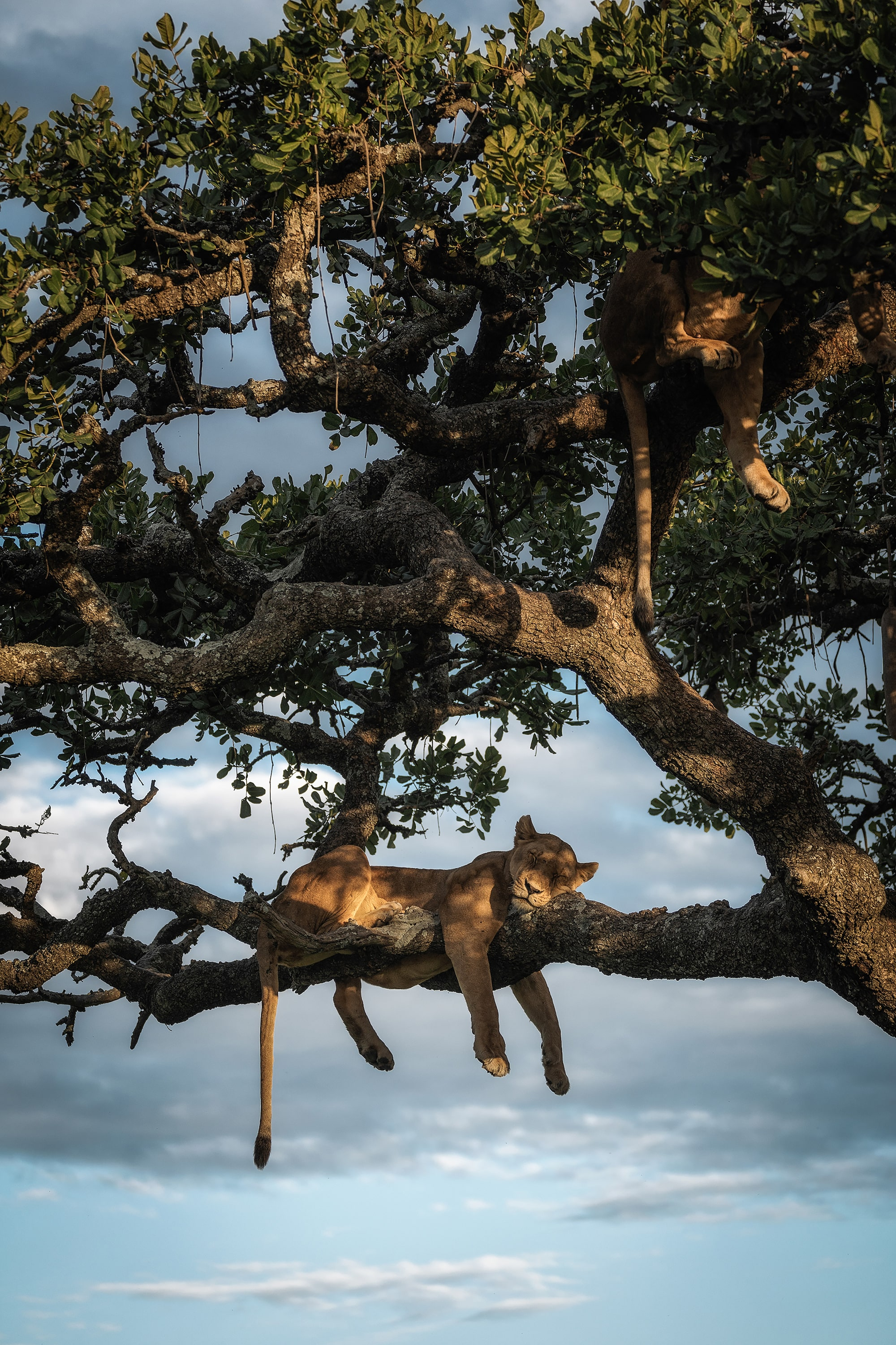 chris schmid sony alpha 9 a lioness lies sleeping in a tree with her eyes closed