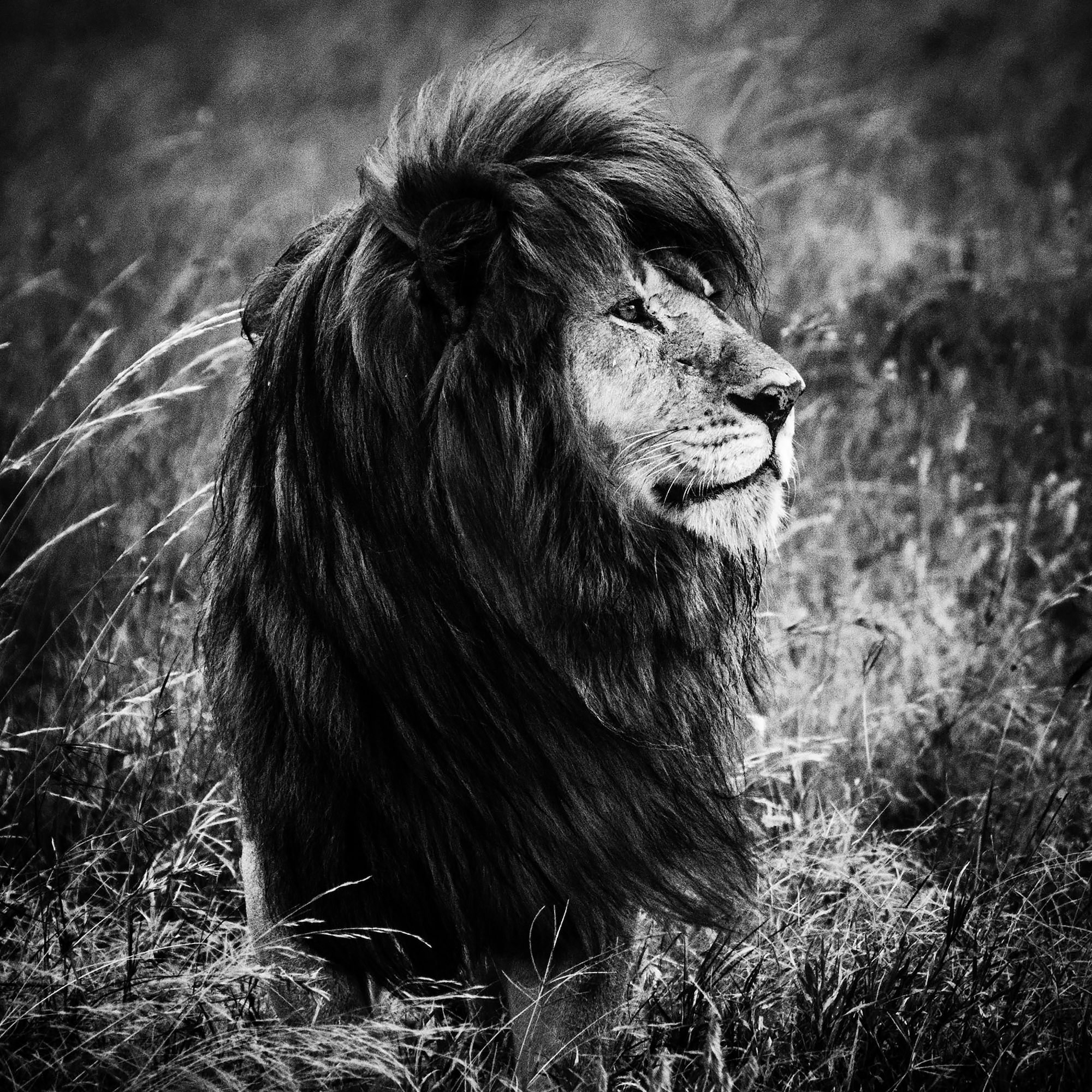laurent baheux sony alpha 9 male lion looking sideways with the light hitting his mane