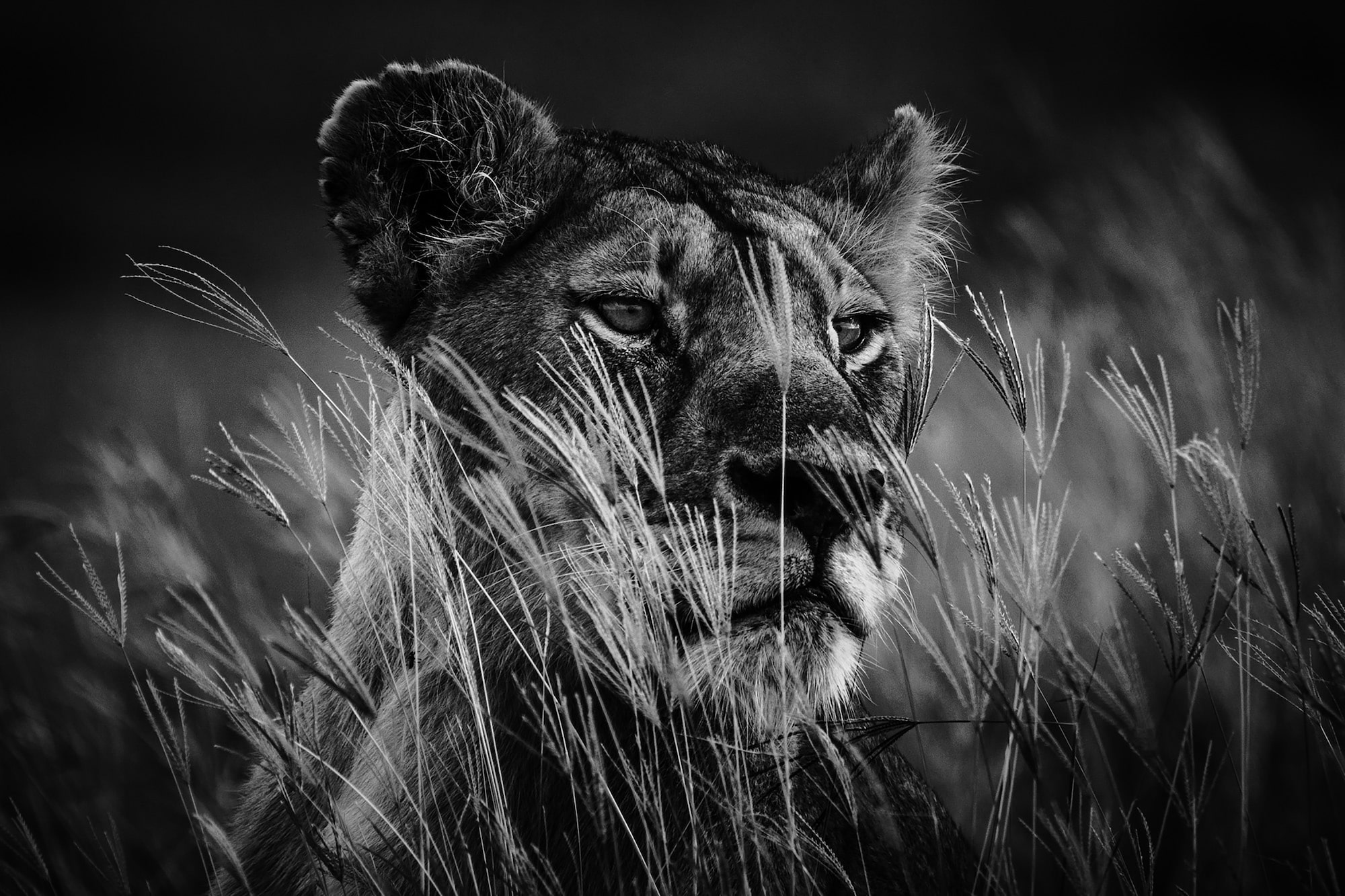 laurent baheux sony alpha 9 a lioness sits patiently and watches behind tall grass in the savannah