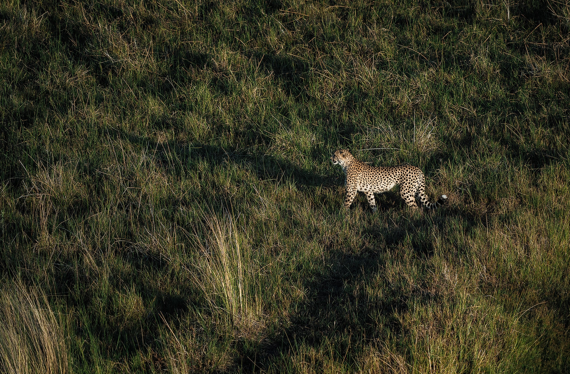 chris schmid sony alpha 9 a lone leopard crosses the grassland looking for prey