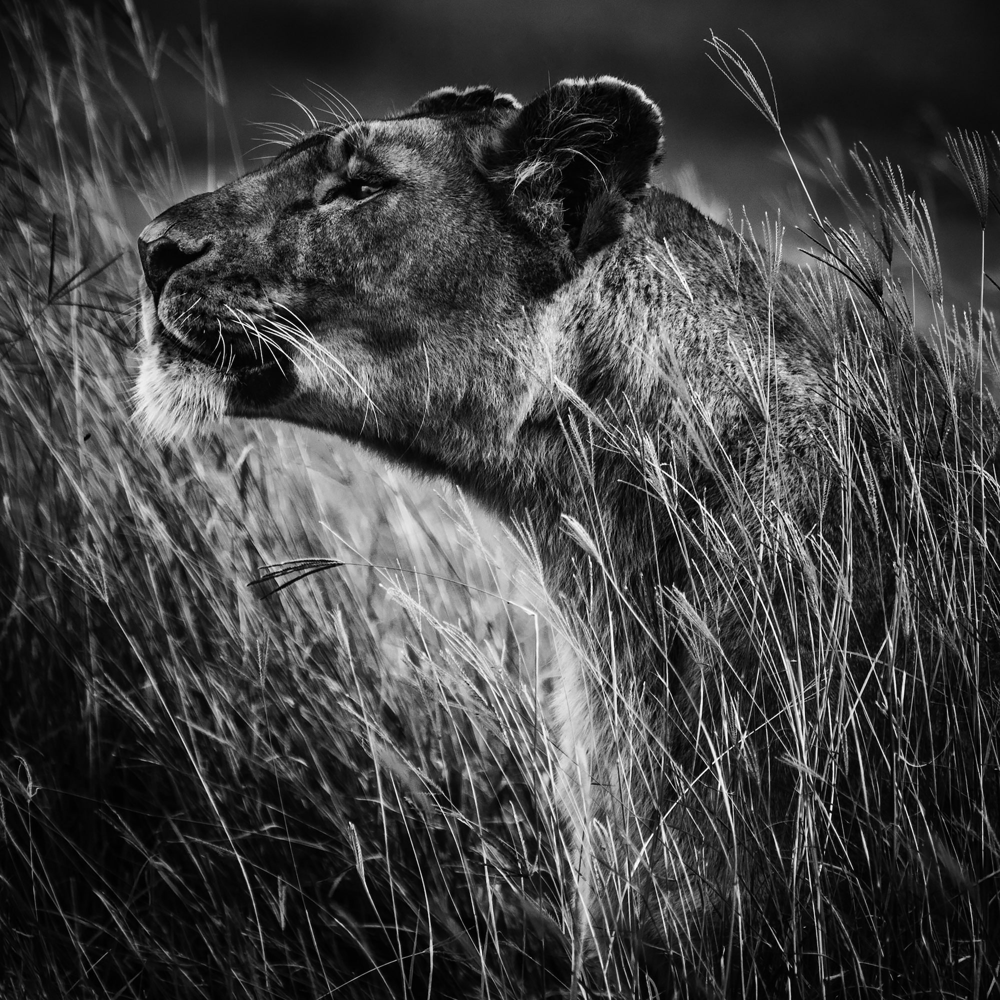 laurent baheux sony alpha 9 side profile of a lioness as she sniffs the air