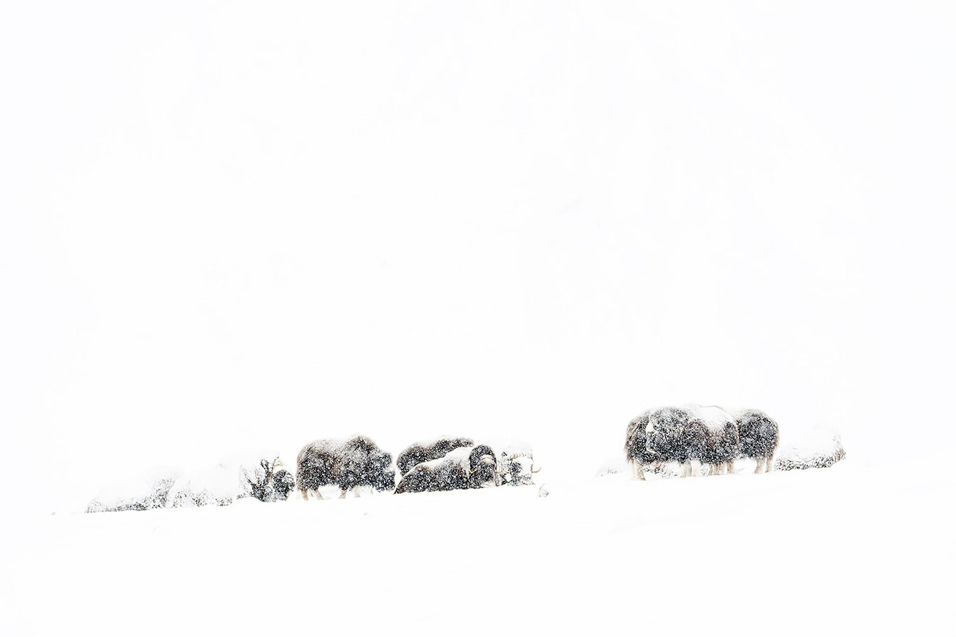 Floris Smeets sony alpha 9 a herd can be perceived in the snow