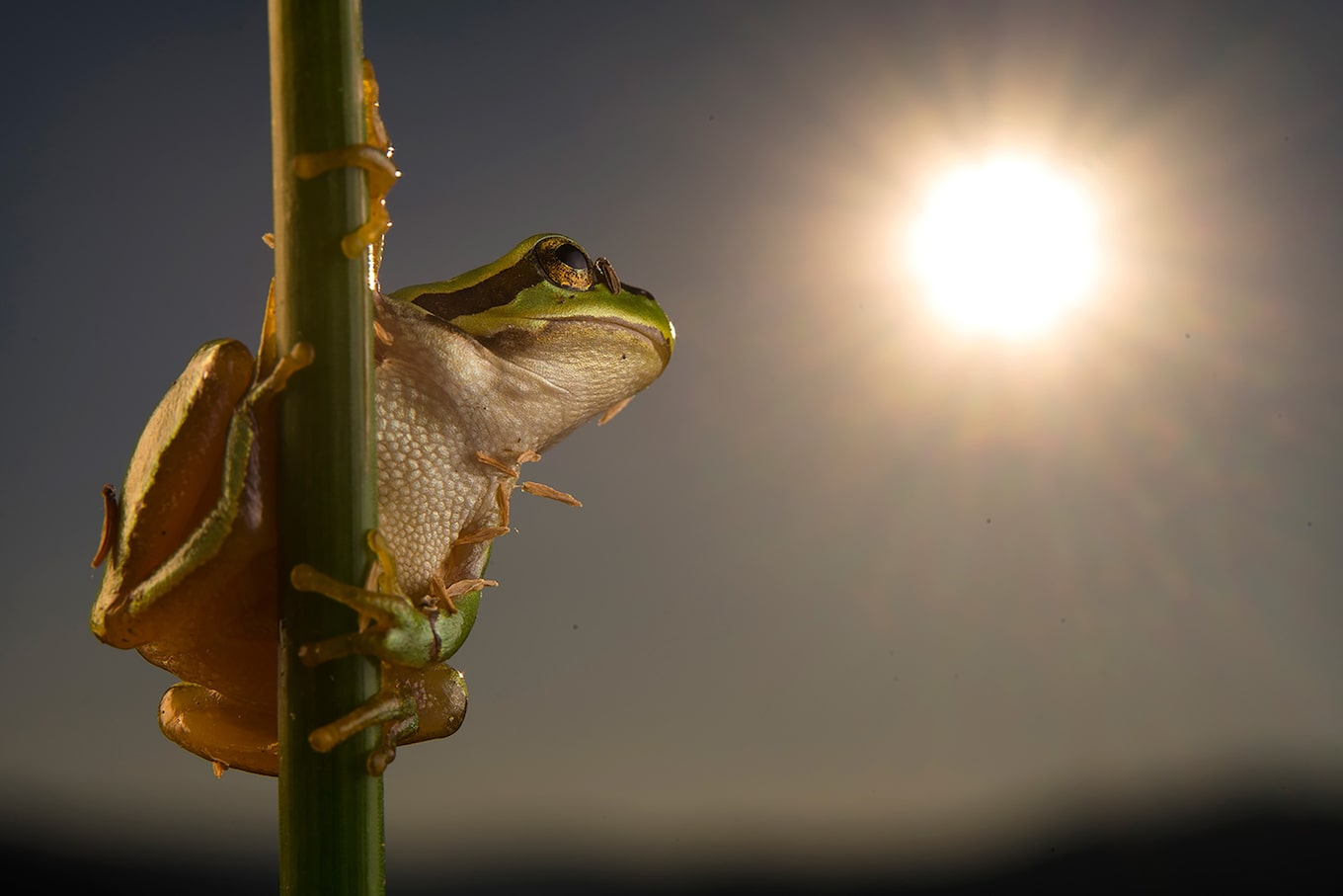 javier-aznar-sony-alpha-7RIII-frog-clings-to-plant-stem-with-the-sun-shining-in-the-background